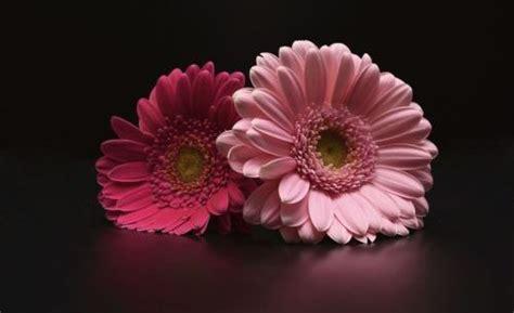 fiori simili alle margherite gerbera significato coltivazione e cura tuttogreen