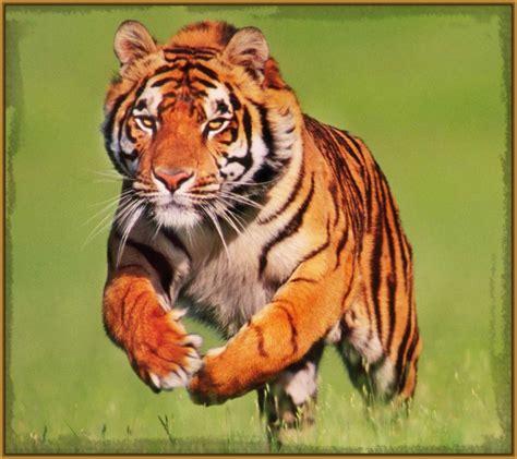 imagenes de leones las mejores las mejores fotos de tigres cachorros y grandes fotos de