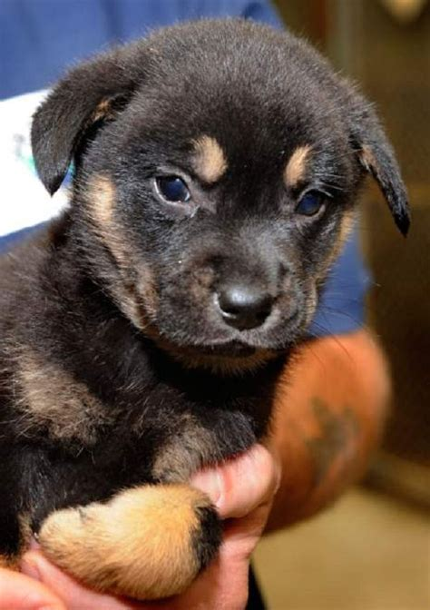 husky rottweiler mix puppies for sale best 25 rottweiler mix ideas on rottweiler pictures dogs for