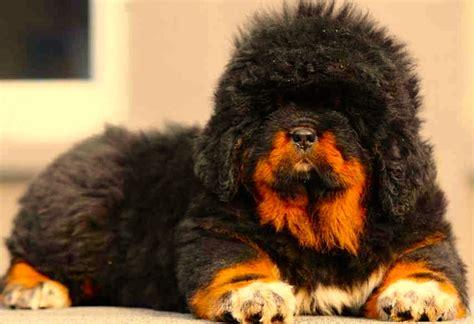 cuanto sale un chow chow dogo del tibet el origen de los mastines razas de perros