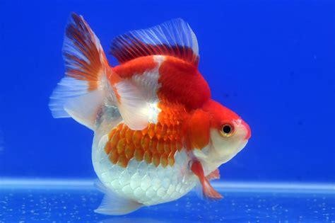 Pakan Ikan Hias Koki ikan koki jumbo cara budidaya ternak