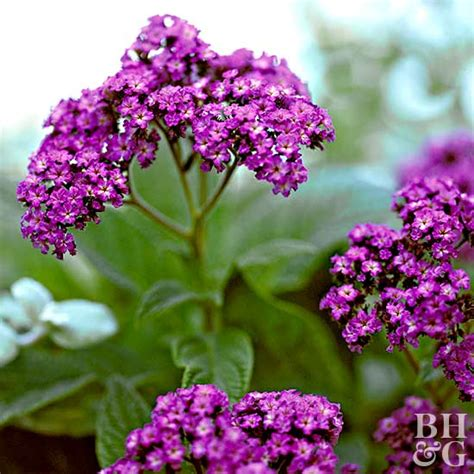 top annuals for fragrant flowers
