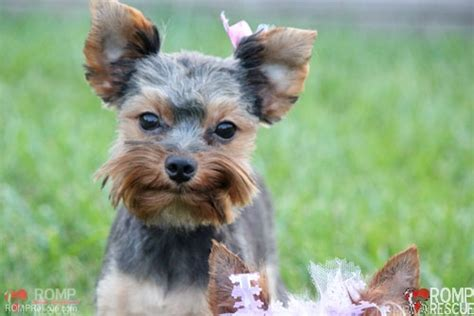 teacup yorkie puppies for sale chicago yorkie puppy for adoption yorkie puppy for adoption breeds picture