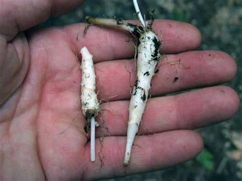 ediblr raw roots edible plants indian cucumber root