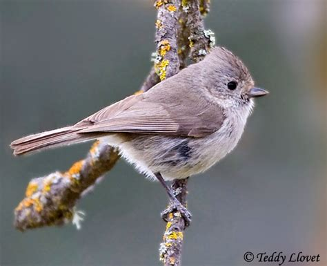 oak titmouse species information and photos