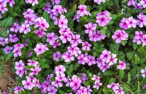 cural impatance of rosy periwinkle catharanthus roseus an anti cancer plant news views from emerging countries