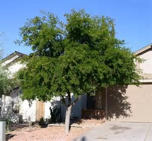Texas ebony bonsai texas ebony bonsai tree myideasbedroom com