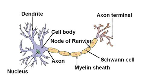 diagram of neurone ib biology2010 12 brain anatomy neuron structure and