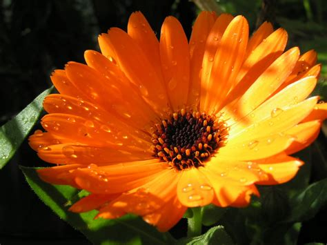 amazing properties of calendula