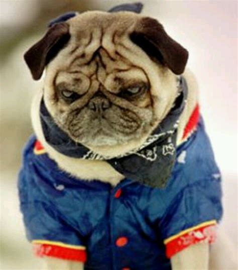 grumpy pug 17 best images about pugs and more pugs on outfitters robins and