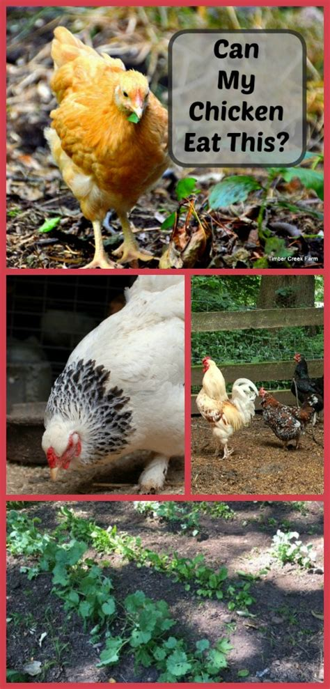 Backyard Chickens What Can They Eat Can Chickens Eat Mashed Potatoes Timber Creek Farm