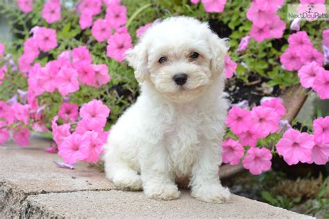 bichon frise puppies for sale ohio show quality bichon puppies for sale breeds picture