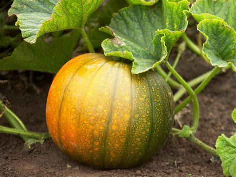 planting pumpkins for how to grow pumpkins hgtv