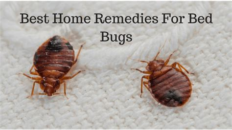 bed bug remedies best home remedies for bed bugs
