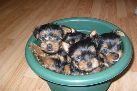 teacup yorkie for sale in san diego yorkie pups akc pedigree for sale adoption from national city california san diego