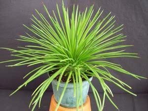 agave geminiflora