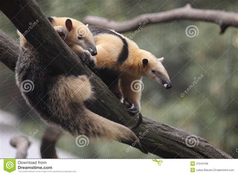 collared anteater royalty  stock image image