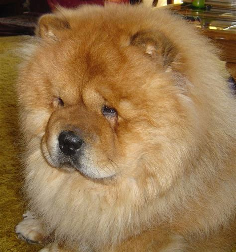 fuzzy chow chow puppy 1000 ideas about chow chow dogs on chow chow chow chow puppies and