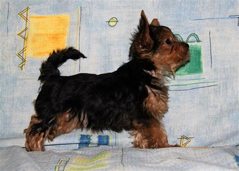 best yorkie names best names for terrier dogs our friends photo
