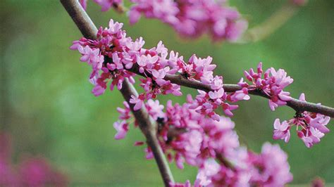 plants that grow in complete darkness the complete guide to redbuds southern living