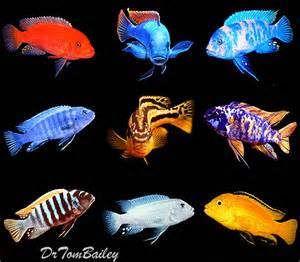 Above: Some of the Mbuna for sale here at our online fish store.