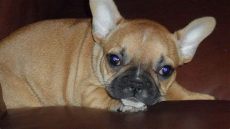 bulldog puppies ta bulldog sale singapore bulldog puppies buy buy bulldog breeders bulldog dogs breed