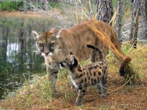 Florida Jaguar Florida Panther Florida Panthers Are Going Extinct