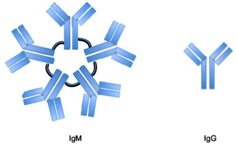 m protein vs igm difference between igm and igg offline clinic