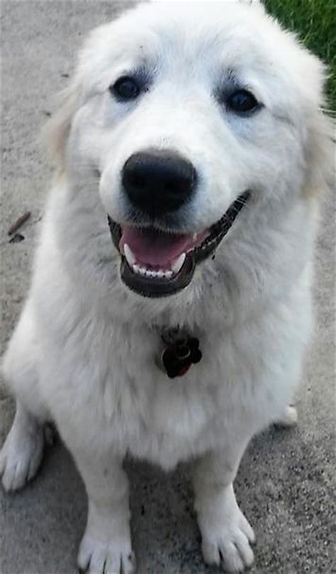 great pyrenees colors loreal great pyrenees humane society of dallas county