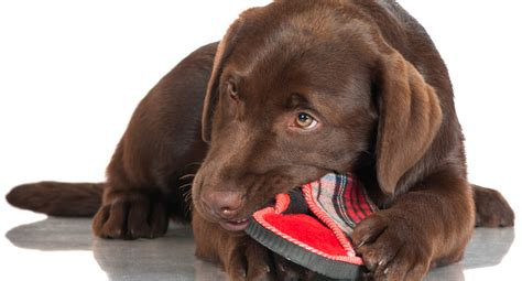how to my labrador how to stop your labrador chewing things