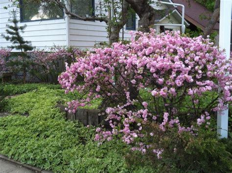 early pink flowering shrubs shrubs