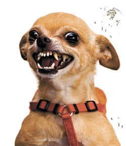 how to your to be aggressive on command how to handle aggressive chihuahua behavior chihuahua tips