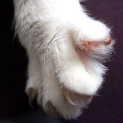 peut on couper les griffes des chats comment couper les griffes de animal chats wamiz
