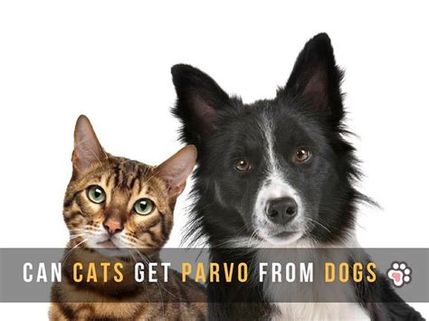 can humans get parvo from dogs parvo in cats is contagious to dogs cats