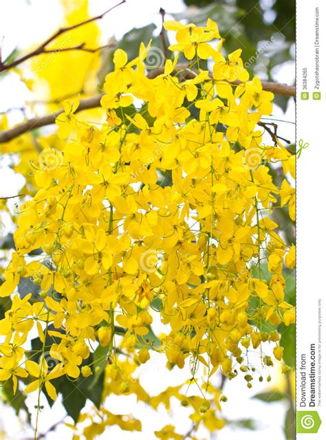 What Is The Golden Shower by Golden Shower Flowers Royalty Free Stock Photo Image