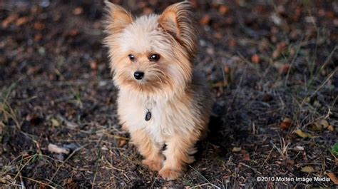 pomeranian cross yorkie yorkie pomeranian cross terriers and more