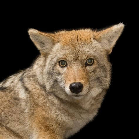 are coyotes color blind coyote national geographic