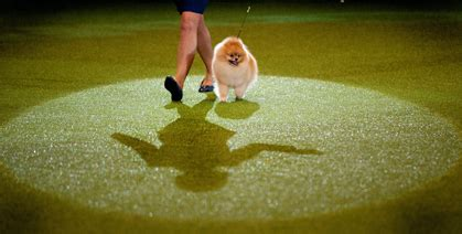 colin the pomeranian crufts pomeranian wins at crufts and makes it through to live channel 4 canine