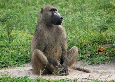 interesting baboon facts