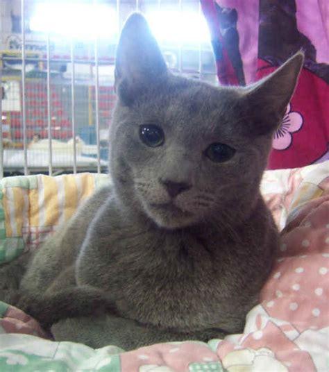 gatto da appartamento razza razze gatti di russia