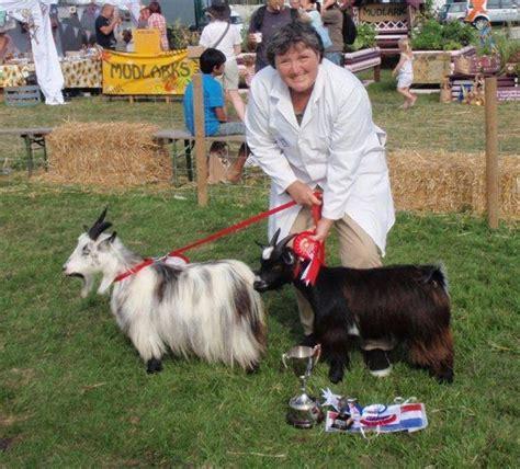 Pet Miniatur miniature goat pet