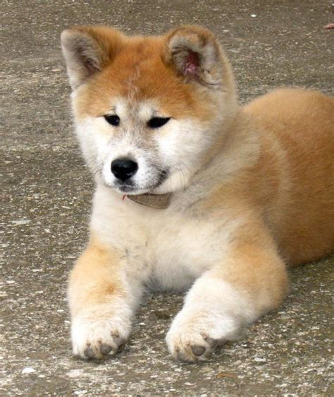 What dog breed is Hachiko in the movie Hachi: A Dog's Tale ... Hachiko Movie2k