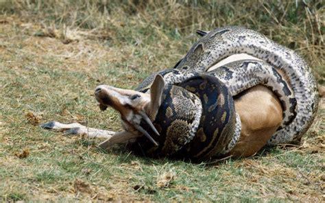 bocca di gabbia come fanno i serpenti a inghiottire grossi animali interi