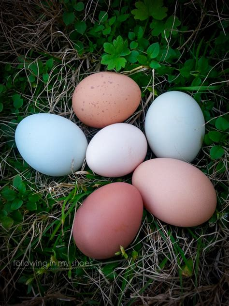 Backyard Chicken Eggs by A Hen Pride