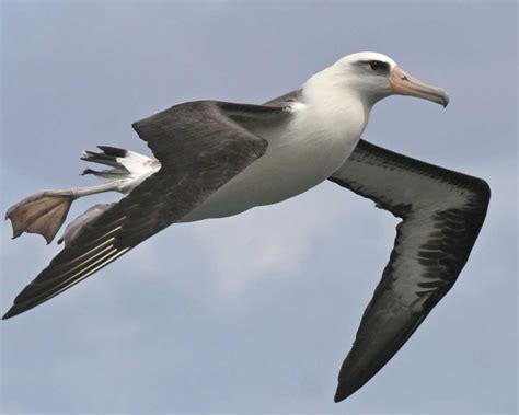 bird l laysan albatross audubon field guide
