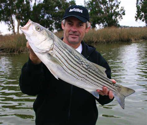 striper charter boats napa river striped bass fishing guides and striper charters