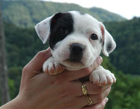 pit bull terrier puppy american pit bull terrier an easygoing good natured