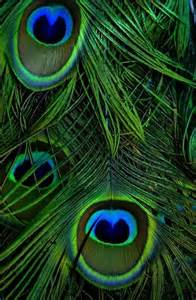 peacock feather colors 355 best peacocks images on peacock colors