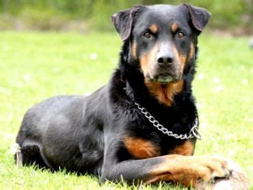 rottweiler grown grown rottweiler german shepherd mix photo happy heaven