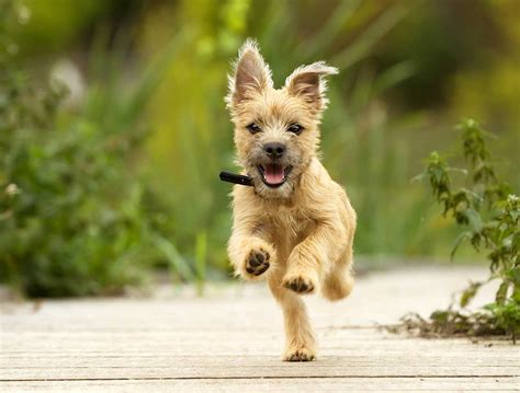 cairn puppies cairn terrier breed 187 everything about cairn terriers